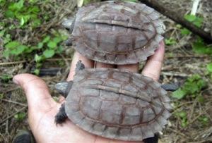 CORRECTION Myanmar Rare Turtle[ရခိုင္႐ုိးမ ေတာအုပ္အတြင္းမွ ေတြ႕ရွိရေသာ ေပ်ာက္ဆုံးေနသည့္ အခြံအညိဳေရာင္ လိပ္မ်ိဳးစိတ္မ်ား (ဓာတ္ပုံ - AP)]